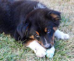 australian shepherd energy puppy breed australian shepherd my name is presso short for