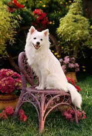 types of american eskimo dogs american eskimo animal stock photos kimballstock