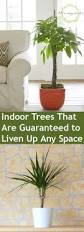 Indoor Gardening Indoor Trees That Are Guaranteed To Liven Up Any Space Bless My