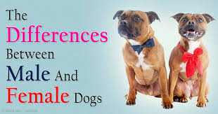 american pitbull terrier vs german shepherd male and female dog behavior differences