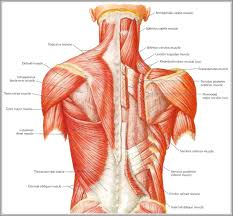Human Anatomy Torso Diagram Human Anatomy From The Back Back Anatomy Organs Human Anatomy