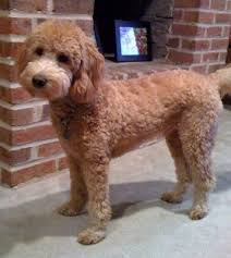 how to cut a goldendoodles hair google image result for http www goldendoodles net images