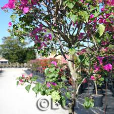 Bougainvillea Topiary - bougainvillea 101 bougainvillea plant care u0026 fertilizer