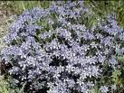 Image result for Sisyrinchium langloisii