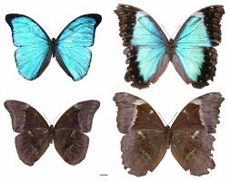 left and right of morpho menelaus eberti from