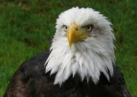 eagle wikipedia