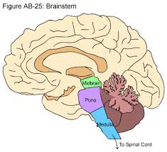 Part Of The Brain Stem That Is Involved In Arousal The Hopes Brain Tutorial Text Version Hopes Huntington U0027s