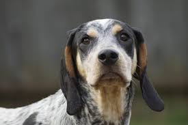 bluetick coonhound and bloodhound mix top 10 dog breeds by sense of smell cuteness