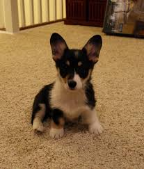 puppy love tri umphant gloria evelyn daily corgi