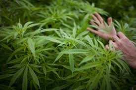 native pot plants marijuana legalization in germany berlin strikes down