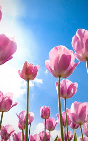 wallpaper bunga tulip colorful tulips live wallpaper for android free download on mobomarket