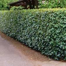 Flowering Privacy Shrubs - create privacy in your garden with any of our cheap garden hedging