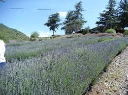 a day trip to keys creek lavender farm boredmom