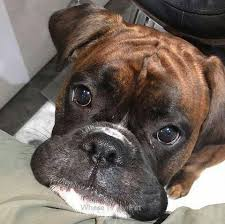 boxer dog funny best 20 boxer pup ideas on pinterest boxer dog puppy boxer dog