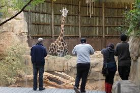 Zoo Lights Lincoln Park by Lincoln Park Zoo U0027s 28 Year Old Giraffe Dies Wgn Tv