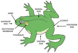 frog anatomy drawings labeled