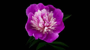 flower blooming flower free video clips 210 free downloads