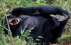 experience gorilla trekking in bwindi forest uganda art of safari