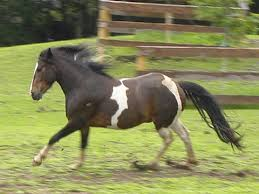 Black Mustang Horse Pictures Meet Our Horses Spanish Mustangs