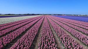 dutch flower fields near keukenhof the netherlands drone footage