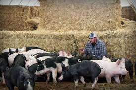 what animal care means on my farm u2013 real pig farming