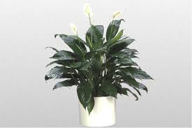 how to water a peace lily houseplant 411 how to identify and