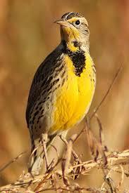 61 best state birds images on pinterest beautiful birds animals