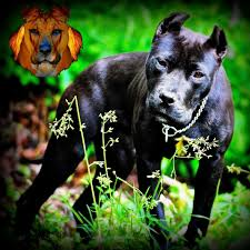 american pitbull terrier apbt blade