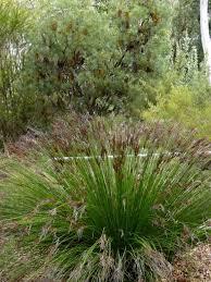3709 best graceful grasses images on ornamental