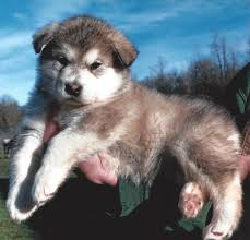 affenpinscher near me 17 photos of giant alaskan malamute puppies for sale near me