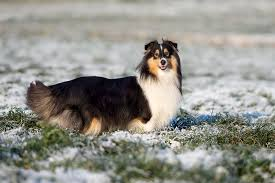 australian shepherd eskimo spitz mix shetland sheepdog dog breed information pictures characteristics