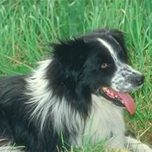 bichon frise for sale cheap border collie puppies for sale