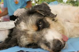 australian shepherd overweight tumors in dogs symptoms causes diagnosis treatment recovery