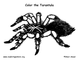 Spider Color Pages Spider Tarantula Coloring Page by Spider Color Pages