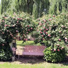 trellis roses our eden rose trellis best weekend sales for august 4th august