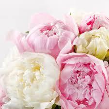Fresh Cut Flowers Pure Peonies