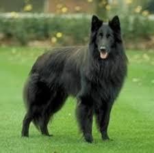 belgian sheepdog types belgian shepherd