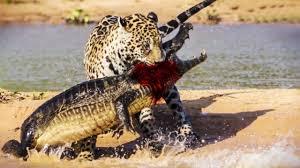 jaguar attack crocodile full video jaguar vs crocodile fight to