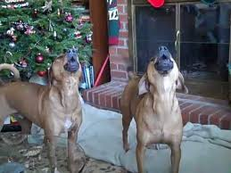 american pitbull terrier rhodesian ridgeback mix my rhodesian ridgeback beagle mixes howl in the holidays youtube