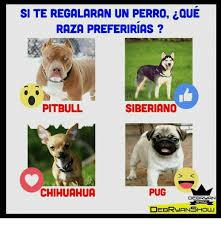 Memes De Chihuahua - site regalaran un perro ique raza preferirias pitbull siberiano