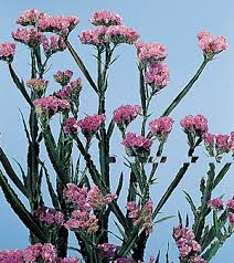 statice flowers statice limonium sinuatum calyx flowers inc