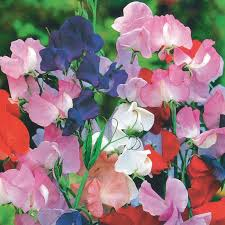 sweet peas flowers royal family mix sweet peas flower seeds veseys