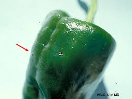 Bacterial Diseases Of Plants - bacterial leaf spot of pepper vegetables university of