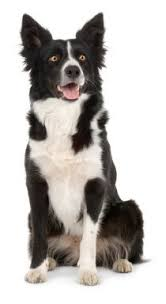 border collie breed edible cake topper