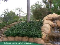 star jasmine on trellis growing confederate jasmine vine trachelospermum jasminoides