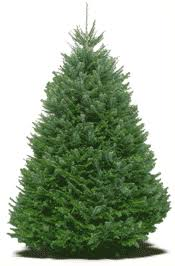 real christmas tree caring for a real christmas tree pnw christmas tree farms lots