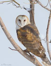 Barn Owl Photography Barn Owl On A Natural Perch Feathered Photography