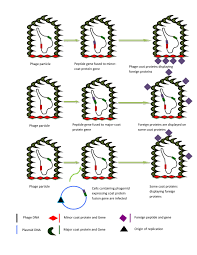 bacteriophages and their implications on future biotechnology a