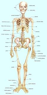 basics of anatomy and physiology of human body