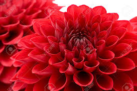 mums flowers stock photos royalty free mums flowers images and